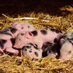 Subsidieregeling sanering varkenshouderijen